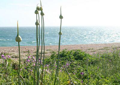 wild-garlic-chesil-beach
